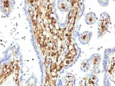 S100A4 / FSP1 Antibody - IHC testing of FFPE human placenta with S100A4 antibody (clone S100A4/1482). Required HIER: steam sections in 10mM citrate buffer, pH 6, for 10-20 min followed by cooling.