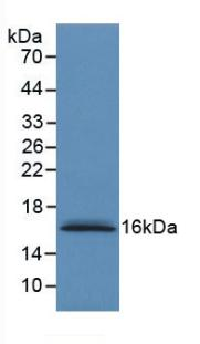 Western Blot; Sample: Recombinant S100A6, Human.