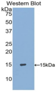 Western blot of recombinant S100A9 / MRP14.  This image was taken for the unconjugated form of this product. Other forms have not been tested.