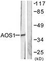 Western blot analysis of lysates from 293 cells, using AOS1 Antibody. The lane on the right is blocked with the synthesized peptide.