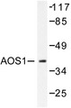 Western blot of AOS1 (L247) pAb in extracts from 293 cells.