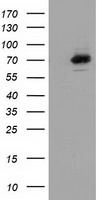 SAMHD1 Antibody - HEK293T cells were transfected with the pCMV6-ENTRY control (Left lane) or pCMV6-ENTRY SAMHD1 (Right lane) cDNA for 48 hrs and lysed. Equivalent amounts of cell lysates (5 ug per lane) were separated by SDS-PAGE and immunoblotted with anti-SAMHD1.