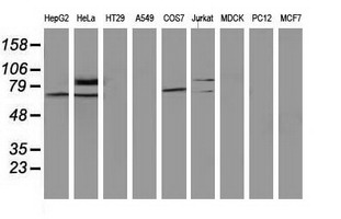 SAMHD1 Antibody - Western blot of extracts (35 ug) from 9 different cell lines by using anti-SAMHD1 monoclonal antibody.