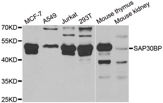 SAP30BP / HTRG Antibody - Western blot analysis of extracts of various cell lines.