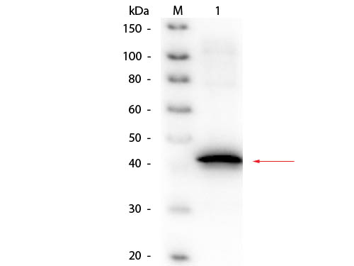 Sarcosine Oxidase Antibody - Western Blot of Goat anti-Sarcosine Oxidase (Microbial) Antibody Biotin Conjugated. Lane 1: Sarcosine Oxidase (Microbial). Load: 50 ng per lane. Primary antibody: Goat anti-Sarcosine Oxidase (Microbial) Antibody Biotin Conjugated at 1:1,000 overnight at 4°C. Secondary antibody: HRP streptavidin secondary antibody at 1:40,000 for 30 min at RT. Block: MB-070 for 30 min at RT. Predicted/Observed size: 45 kDa, 45 kDa for Sarcosine Oxidase monomeric alpha subunit.