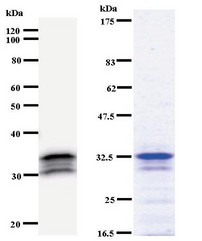Western blot of immunized recombinant protein using SCAND1 antibody. Left: SCAND1 staining. Right: Coomassie Blue staining of immunized recombinant protein.
