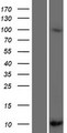SCGB1C2 Protein - Western validation with an anti-DDK antibody * L: Control HEK293 lysate R: Over-expression lysate