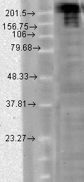Nav1.7 (S68-6), T-CHO.  This image was taken for the unconjugated form of this product. Other forms have not been tested.