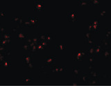 Immunofluorescence of SCRN2 in 293 cells with SCRN2 antibody at 20 ug/ml.