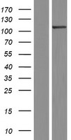 SCYL2 Protein - Western validation with an anti-DDK antibody * L: Control HEK293 lysate R: Over-expression lysate