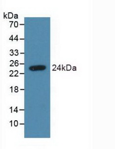 SDC4 / Syndecan 4 Antibody - Western Blot; Sample: Recombinant SDC4, Human.