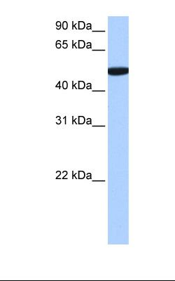 721_B cell lysate. Antibody concentration: 0.5 ug/ml. Gel concentration: 12%.  This image was taken for the unconjugated form of this product. Other forms have not been tested.