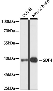 SDF4 Antibody - Western blot analysis of extracts of various cell lines, using SDF4 antibody at 1:1000 dilution. The secondary antibody used was an HRP Goat Anti-Rabbit IgG (H+L) at 1:10000 dilution. Lysates were loaded 25ug per lane and 3% nonfat dry milk in TBST was used for blocking. An ECL Kit was used for detection and the exposure time was 90s.