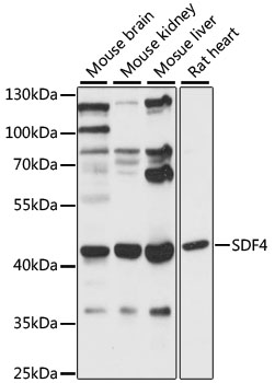 SDF4 Antibody - Western blot analysis of extracts of various cell lines, using SDF4 antibody at 1:1000 dilution. The secondary antibody used was an HRP Goat Anti-Rabbit IgG (H+L) at 1:10000 dilution. Lysates were loaded 25ug per lane and 3% nonfat dry milk in TBST was used for blocking. An ECL Kit was used for detection and the exposure time was 60s.