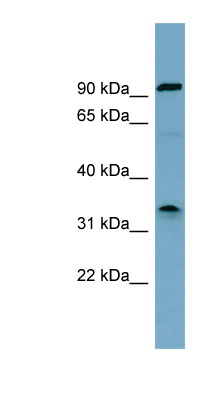 SDS antibody Western blot of HT1080 cell lysate. This image was taken for the unconjugated form of this product. Other forms have not been tested.