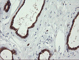 IHC of paraffin-embedded Human breast tissue using anti-SDSL mouse monoclonal antibody. (Heat-induced epitope retrieval by 10mM citric buffer, pH6.0, 100C for 10min).