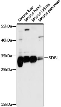 SDSL / Serine Dehydratase-Like Antibody - Western blot analysis of extracts of various cell lines, using SDSL antibody at 1:1000 dilution. The secondary antibody used was an HRP Goat Anti-Rabbit IgG (H+L) at 1:10000 dilution. Lysates were loaded 25ug per lane and 3% nonfat dry milk in TBST was used for blocking. An ECL Kit was used for detection and the exposure time was 5s.