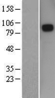 SEMA3D / Semaphorin 3D Protein - Western validation with an anti-DDK antibody * L: Control HEK293 lysate R: Over-expression lysate