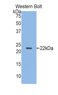Western blot of recombinant SEMA3F.  This image was taken for the unconjugated form of this product. Other forms have not been tested.