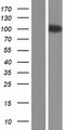 SEMA4G / Semaphorin 4G Protein - Western validation with an anti-DDK antibody * L: Control HEK293 lysate R: Over-expression lysate