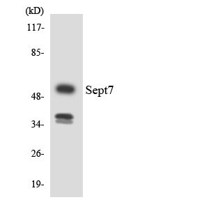 Western blot analysis of the lysates from HUVECcells using SEPT7 antibody.