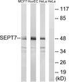 Western blot analysis of lysates from HeLa, HUVEC, and MCF-7 cells, using SEPT7 Antibody. The lane on the right is blocked with the synthesized peptide.