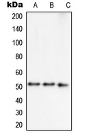 Western blot analysis of Septin 7 expression in MCF7 (A); HepG2 (B); NIH3T3 (C) whole cell lysates.