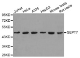 Western blot analysis of extracts of various cell lines, using SEPT7 antibody.