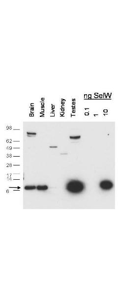 Anti-SeIW Antibody - Western Blot. Western blot of anti-SelW antibody shows detection of endogenous SelW in mouse brain, muscle and testes lysates. Recombinant SelW is also detected at 10 ng (right lanes). The arrow corresponds with SelW protein at 9.6 kD. The primary antibody was used at a 1:1000 dilution. Personal Communication, D. Hatfield, NCI, Bethesda, MD.