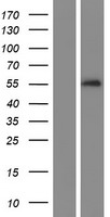 SERPINA10 / PZI Protein - Western validation with an anti-DDK antibody * L: Control HEK293 lysate R: Over-expression lysate