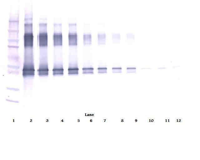 Western Blot (non-reducing) of SERPINA12 / Vaspin antibody LS-C104832.  This image was taken for the unconjugated form of this product. Other forms have not been tested.