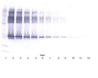 Western Blot (reducing) of SERPINA12 / Vaspin antibody LS-C104832.  This image was taken for the unconjugated form of this product. Other forms have not been tested.
