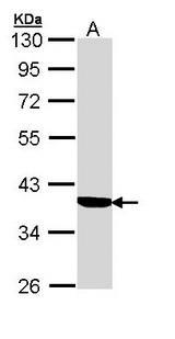 Sample (30 ug of whole cell lysate). A: A431 . 10% SDS PAGE. CBG / SERPINA6 antibody diluted at 1:1000.