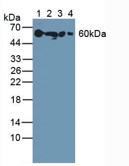 Western Blot; Sample: Lane1: Rat Serum; Lane2: Rat Kidney Tissue; Lane3: Rat Uterus Tissue; Lane4: Rat Eyes Tissue.