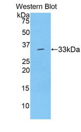 Western blot of recombinant SERPINA7 / TBG.  This image was taken for the unconjugated form of this product. Other forms have not been tested.