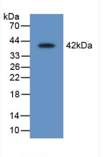 Western Blot; Sample: Recombinant LEI, Rat.
