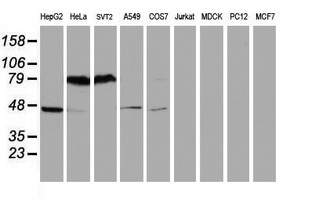 Western blot of extracts (35ug) from 9 different cell lines by using anti-SERPINB1 monoclonal antibody (HepG2: human; HeLa: human; SVT2: mouse; A549: human; COS7: monkey; Jurkat: human; MDCK: canine; PC12: rat; MCF7: human).