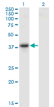 Western Blot analysis of SERPINB10 expression in transfected 293T cell line by SERPINB10 monoclonal antibody (M09), clone 2B8.Lane 1: SERPINB10 transfected lysate (Predicted MW: 45.4 KDa).Lane 2: Non-transfected lysate.