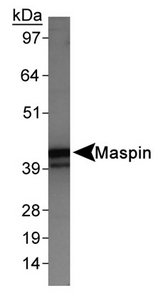 Detection of Maspin in HeLa whole cell extracts.  This image was taken for the unconjugated form of this product. Other forms have not been tested.