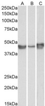 Goat Anti-PAI1 / SERPINE1 Antibody (0.1µg/ml) staining of A549 (A), HepG2 (B) and HeLa (C) lysates (35µg protein in RIPA buffer). Primary incubation was 1 hour. Detected by chemiluminescencence.