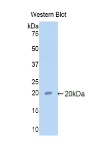 Western blot of recombinant SERPINF2 / Alpha-2-Antiplasmin.  This image was taken for the unconjugated form of this product. Other forms have not been tested.