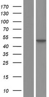 SETD4 Protein - Western validation with an anti-DDK antibody * L: Control HEK293 lysate R: Over-expression lysate