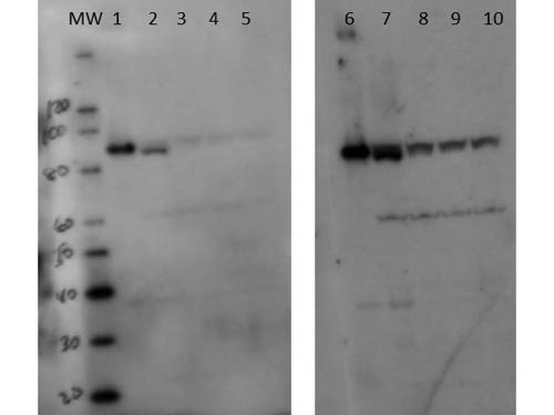 SETDB2 Antibody - Western Blot of rabbit anti-Setdb2 antibody. Lane 1: 50ng recombinant mouse Setdb2. Lane 2: 50ng recombinant mouse Setdb2 + HEK293 50mcg. Lane 3: 5.0ng recombinant mouse Setdb2 + HEK293 50mcg. Lane 4: 0.5ng recombinant mouse Setdb2 + HEK293 50mcg. Lane 5: HEK293 50mcg. Lane 6: 50ng recombinant mouse Setdb2. Lane 7: 50ng recombinant mouse Setdb2 + HEK293 50mcg. Lane 8: 5.0ng recombinant mouse Setdb2 + HEK293 50mcg. Lane 9: 0.5ng recombinant mouse Setdb2 + HEK293 50mcg. Lane 10: HEK293 50mcg. Primary antibody: Setdb2 antibody at 1:100,000 (lanes 1-5) and 1:25,000 (lanes 6-10) for overnight at 4°C. Secondary antibody: HRP rabbit secondary antibody at 1:20,000 for 45 min at RT. Block: 5% BLOTTO overnight at 4°C. Predicted/Observed size: 80.6 kDa for Setdb2. Other band(s): degradation products, proteolysis products, or nonspecific binding.