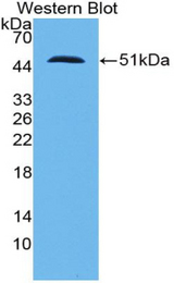 Western blot of SFTPC / Surfactant Protein C antibody.