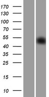 SGCE Protein - Western validation with an anti-DDK antibody * L: Control HEK293 lysate R: Over-expression lysate