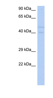 SGK3 antibody Western blot of SH-SYSY lysate. This image was taken for the unconjugated form of this product. Other forms have not been tested.