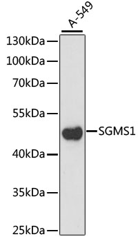 SGMS1 / TMEM23 Antibody - Western blot analysis of extracts of A-549 cells, using SGMS1 antibody at 1:1000 dilution. The secondary antibody used was an HRP Goat Anti-Rabbit IgG (H+L) at 1:10000 dilution. Lysates were loaded 25ug per lane and 3% nonfat dry milk in TBST was used for blocking. An ECL Kit was used for detection and the exposure time was 30s.