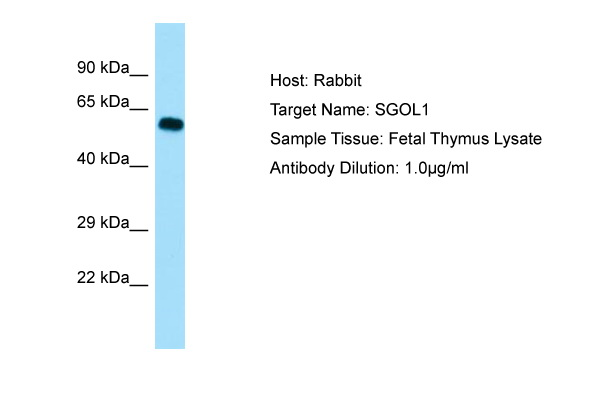SGOL1 / Shugoshin Antibody -  This image was taken for the unconjugated form of this product. Other forms have not been tested.