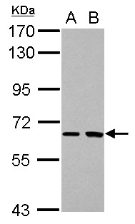 Sample (30 ug of whole cell lysate) A: H1299 B: HCT116 7.5% SDS PAGE SH2D3A antibody diluted at 1:1000