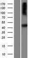 SH2D5 Protein - Western validation with an anti-DDK antibody * L: Control HEK293 lysate R: Over-expression lysate